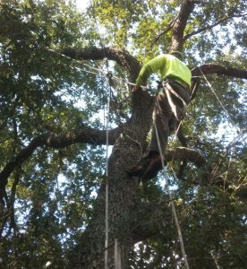 Three Ways Cabling and Bracing Trees Can Save Money